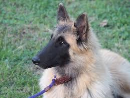 belgian sheepdog akc aftershock belgians belgian tervuren puppies for sale