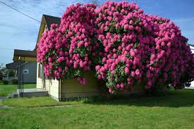 rhododendron tree two rhododendron trees groupon goods 51 best