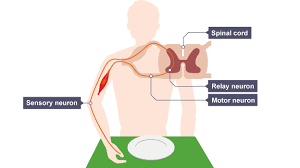 Knee Reflex Arc Why Is It Impossible To Stop A Reflex Like A Knee Jerk From