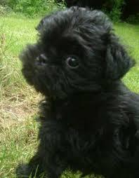 affenpinscher breeders texas affenpinscher puppy fluffies pinterest dog animal and doggies