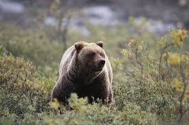Animal Planet Documentary Grizzly Bears Full Documentaries - it wasn t the bear s fault grizzly attack survivor stories