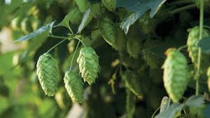 Low Trellis Hops Site Selection And Trellis Design For Hops Organic Gardening Blog