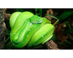 a green snake wallpapers 179 best morelia viridis images on pinterest python snakes and