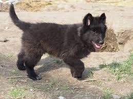 belgian sheepdog groenendael rescue 10 puppies of belgian shepherd chien de berger belge have a new