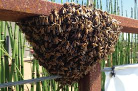 los angeles live bee removal and hive relocation service