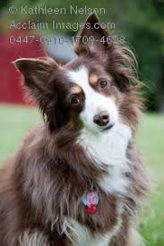 images of australian shepherd photography of australian shepherd dog sitting on lawn with red