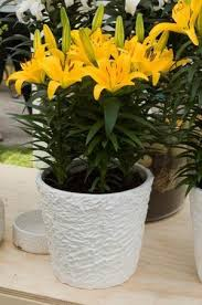 Lily Plant Asiatic Lily Tiny Bee Plants In My Garden Pinterest Asiatic