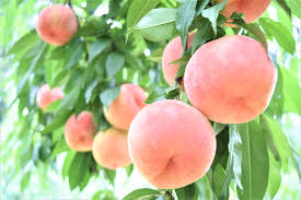 fruits you should eat in japan momo peach cupido