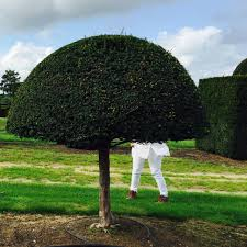 Yew Topiary - huge yew topiary jo alderson phillips