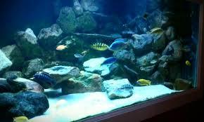 lake malawi mbuna stocking décor and hardware aquarium advice