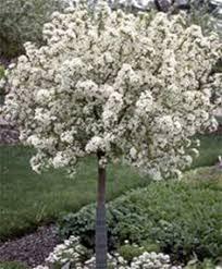 top 10 trees for small spaces ornamental plants flowers and pop