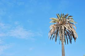 palmier du chili palmier los angeles los angeles aux etats unis