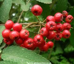 how to identify sorbus aucuparia rowan tree