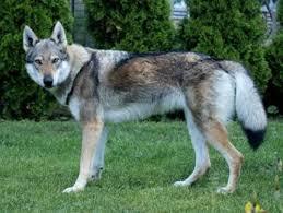 belgian shepherd x malamute german shepherd x dogs u0026 puppies gumtree australia free local