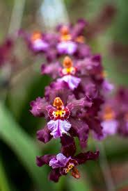 oncidium orchid purple oncidium orchid strand jocelyn petruccio photo