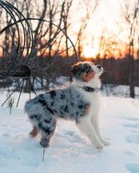australian shepherd puppies 500 mistymorrning via 1416357247187719 jpg jpeg image 500 706
