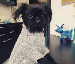 affenpinscher swimming 10 things you need to know about your dog u0027s microchip if you want