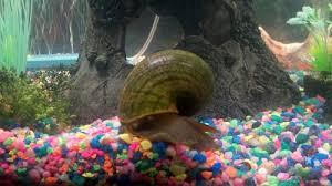 types of freshwater aquarium snails ratemyfishtank com