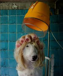 afghan hound urban dictionary the heartwarming photos of claire the globetrotting bull terrier