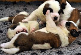 gallery 16 adorable pictures cute puppies metro uk