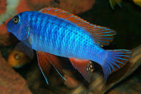 red top trewavasae cichlid my second favorite african cichlid
