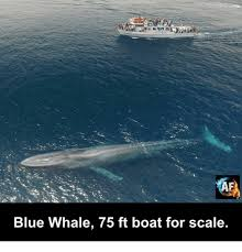 Whaling Meme - blue whale 75 ft boat for scale meme on me me