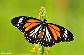butterflies of singapore revision to the common names of butterflies 2
