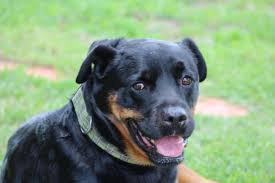 australian shepherd mixed with pitbull southern states rescued rottweilers