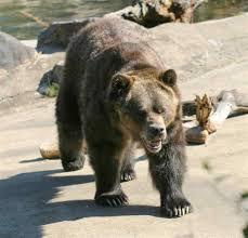 hd quality kodiak bear by masterman mucillo