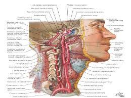 Gross Brain Anatomy Posterior Cerebral Circulation Gross Anatomy