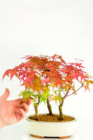 japanese bonsai tree meaning beautiful japanese maple bonsai