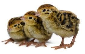 raising japanese quail the poultry site