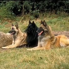 belgian sheepdog breeders uk belgian shepherd puppies for sale