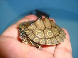 Texas Map Turtle Geringde Zaagrugschildpad Wikiwand