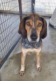bluetick coonhound louisville ky chesney is an adoptable bluetick coonhound dog in twinsburg oh