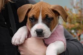 rescue a boxer dog boxer pup rocket dog rescue