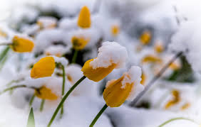 plants winter flowers snow wallpapers hd desktop and mobile