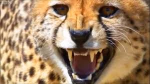the cheetah grace and speed duma movie theme youtube