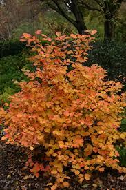 fothergilla u0027mt airy u0027 fall color perennial flowers