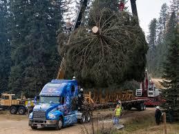photos capitol christmas tree arrives in d c newsradio wina