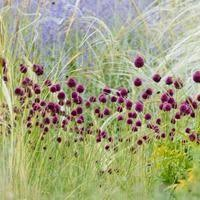 Summer Flowers For Garden - purple allium bulbs drumstick allium sphaerocephalon persian