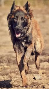 belgian shepherd skin problems 34 best belgian tervuran images on pinterest