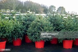 potted christmas tree potted christmas trees for sale in garden nursery stock photo
