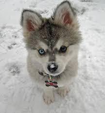 american eskimo dog vs keeshond i want an alaskan klee kai neogaf