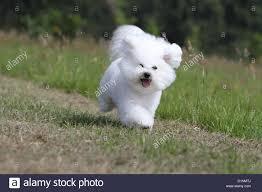 bichon frise funny dog bichon frise running stock photo royalty free image