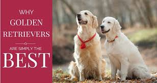 Comfort Golden Retriever Breeders 16 Reasons Why Golden Retrievers Are Such Awesome Pets