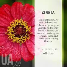 zinnia flowers zinnia agriculture co