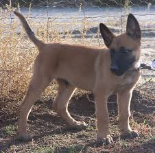 belgian malinois markings belgian malinois puppy mascotas pinterest belgian malinois