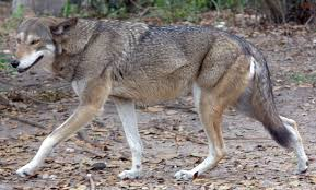 Can Coyotes See Red Light Red Wolf Wikipedia
