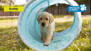 sponsor a guide dog puppy guide dogs